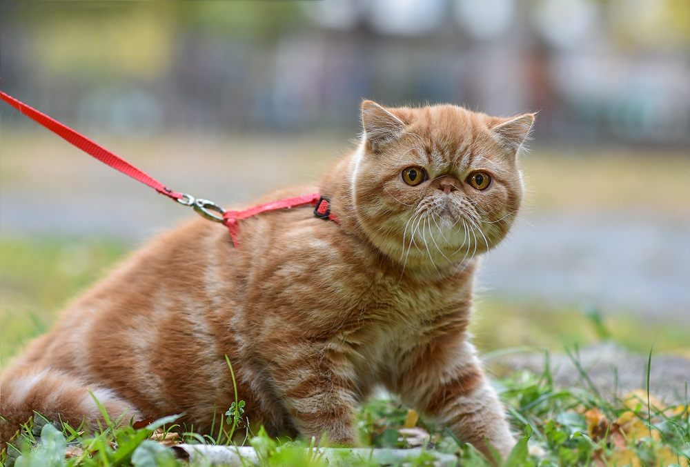 cute cat in a leash