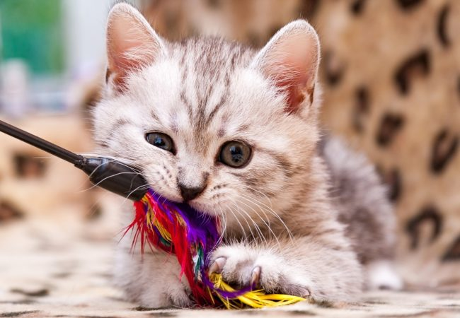 Safe Cat Toys for Kitten: Ages 4 Weeks & Up