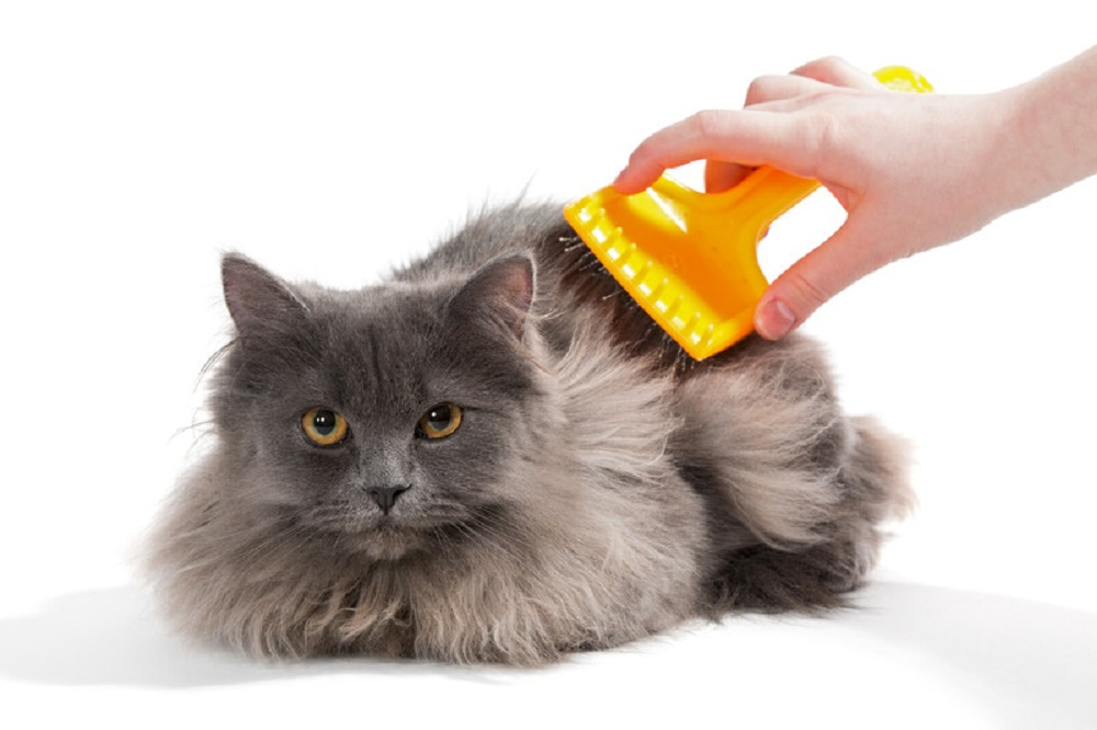 brushing a behaved cat