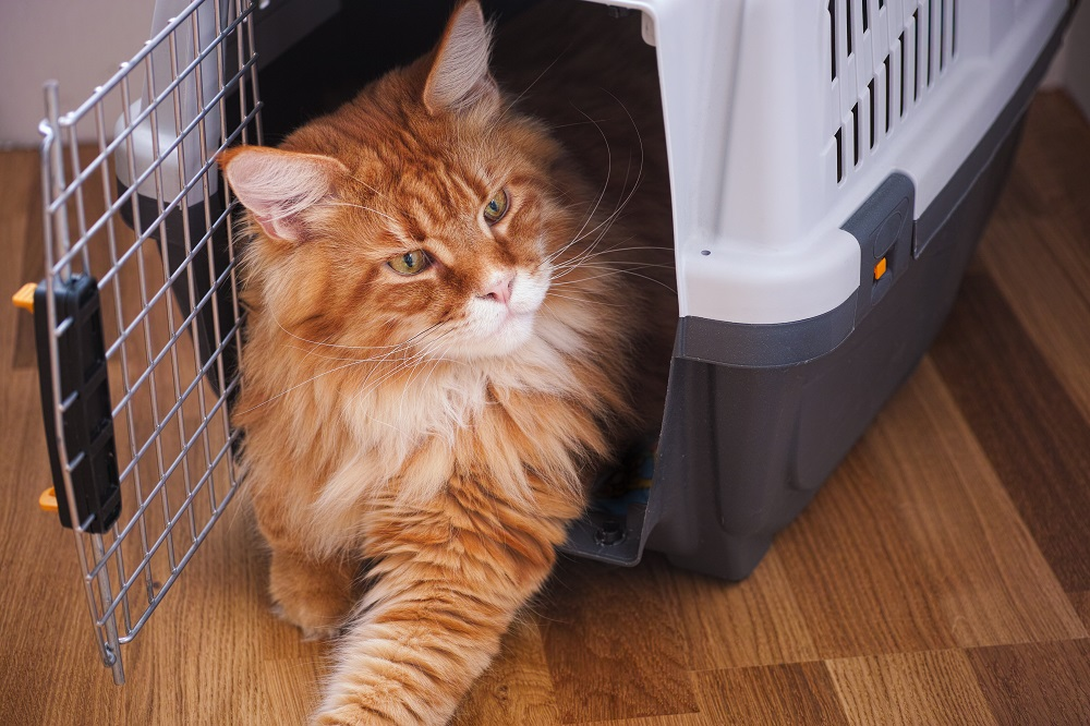 Red Maine Coon Sitting In Cat Carrier