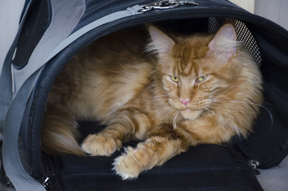 Large Red Marble Maine Coon Cat Lies In A Pet Carrier Bag