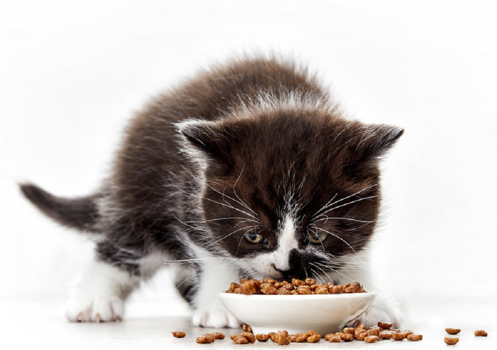 kitten eating food