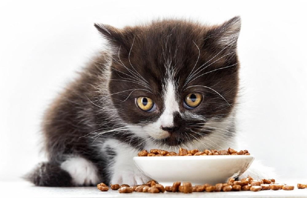 kitten eating food