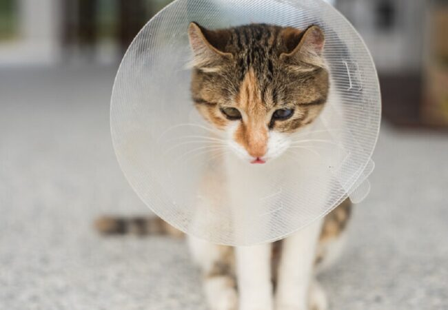 How to Take Care of Your Cat After Surgery: Post-Op Guide to Spaying and Neutering