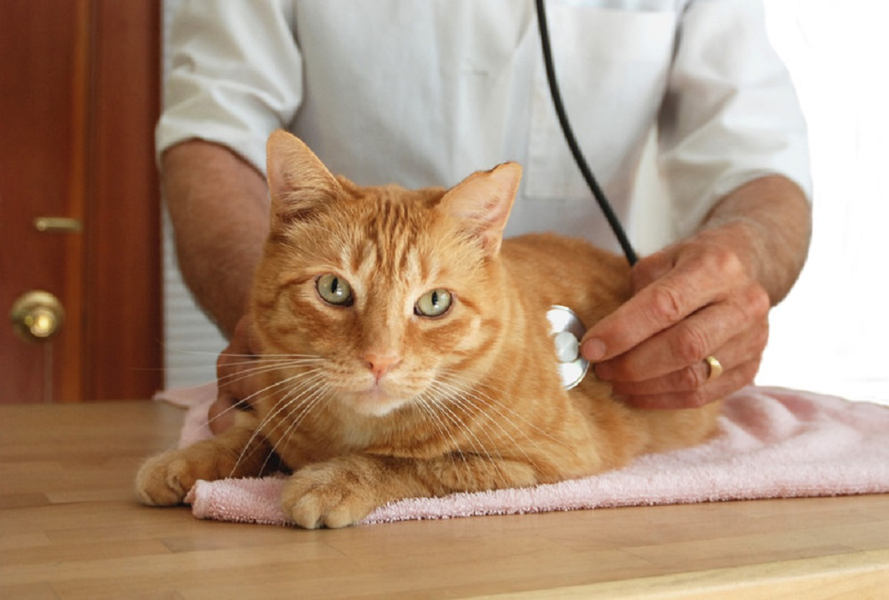 cat being checked by a vet