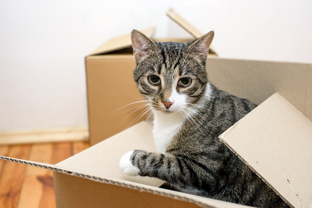 moving day cat and cardboard boxes