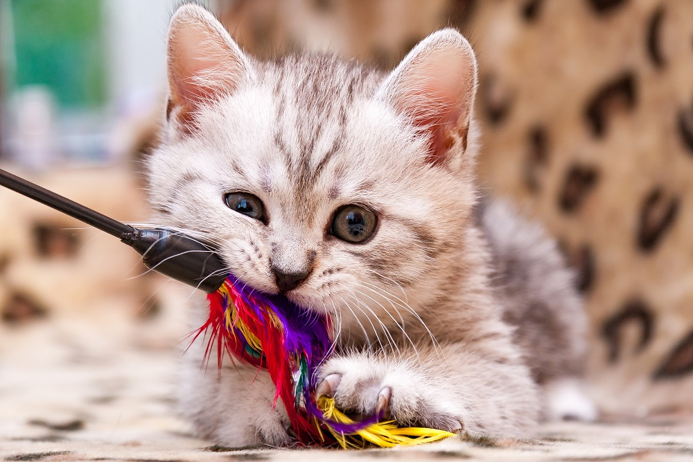 kitten playing with feather wand