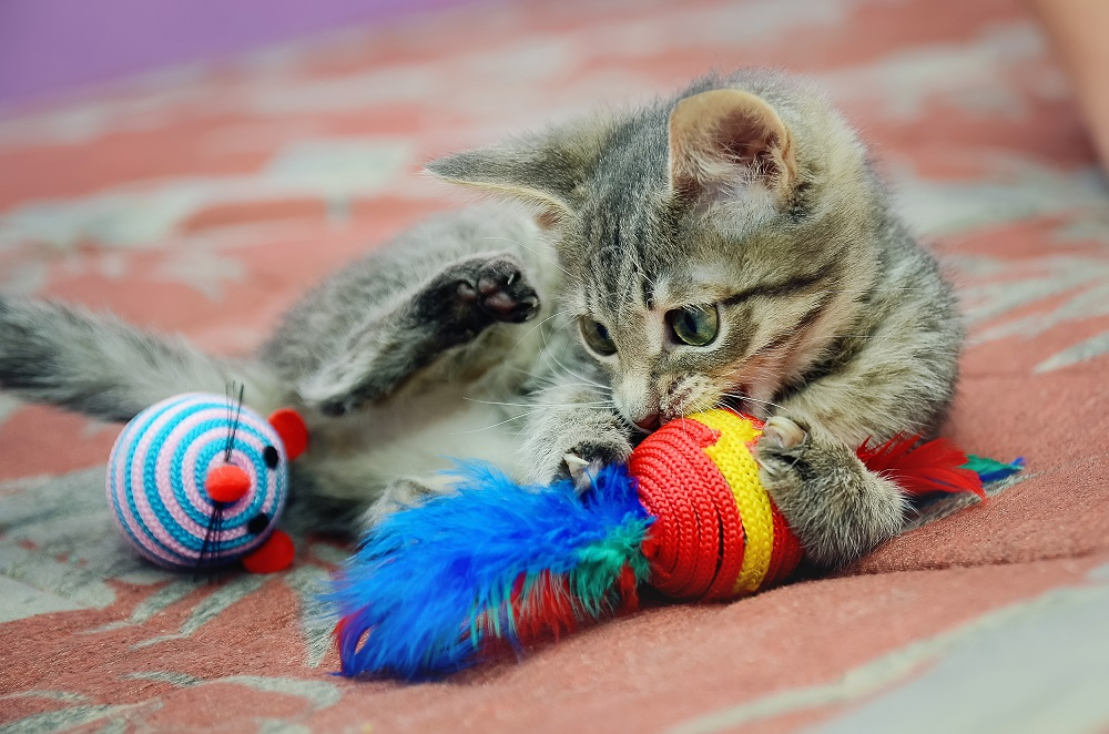 cute home kitten playing with toys.