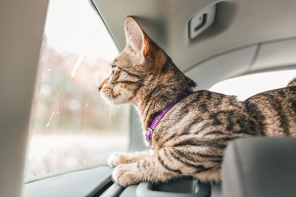 moving with a cat in car