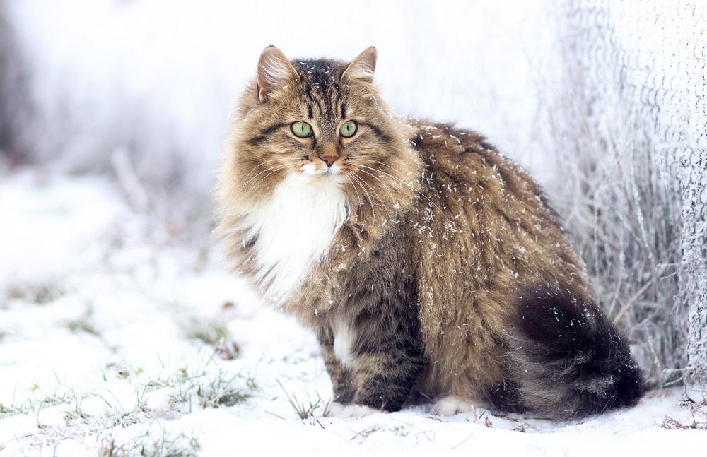 outdoor cat during winter