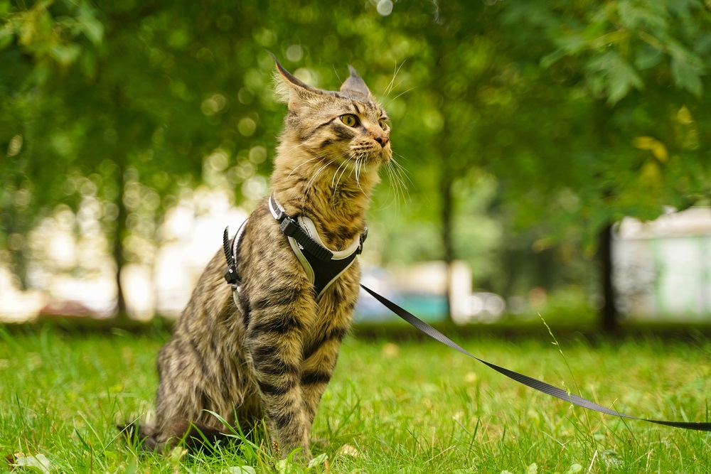 harness training a cat