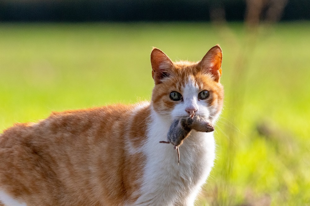 feral cat holding rodent prey in mouth