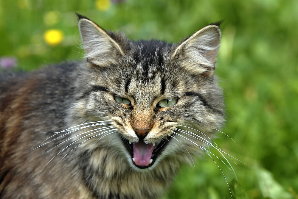 angry feral cat